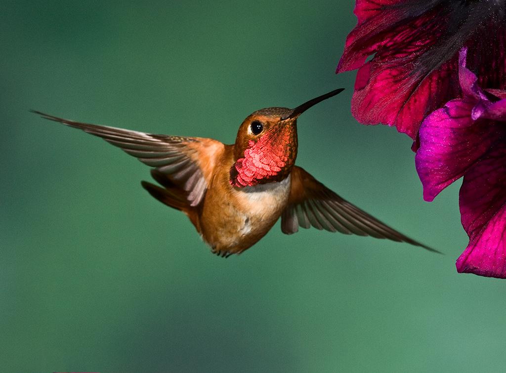 Ross Kaplan - Rufous Hummingbird