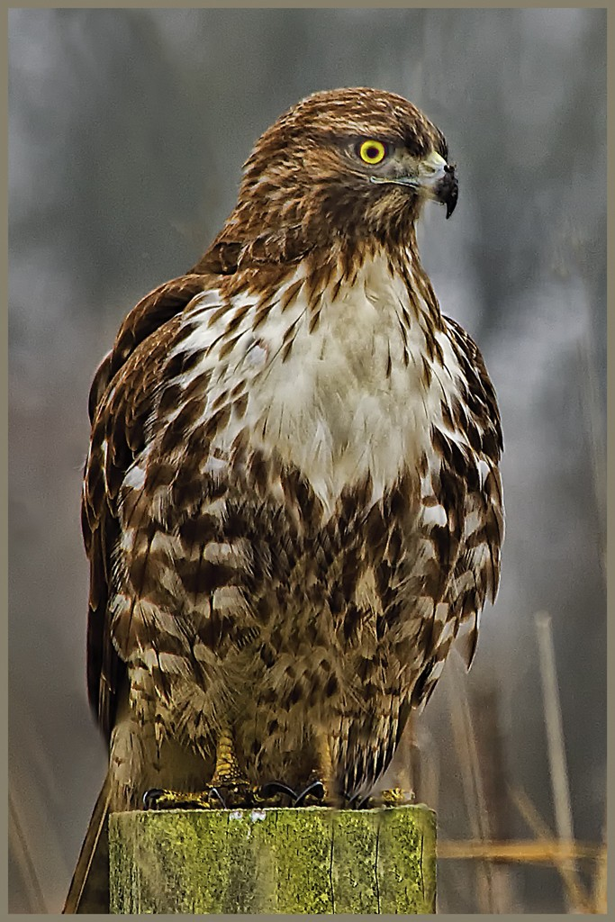 'Red Tail Hawk' by David Roy