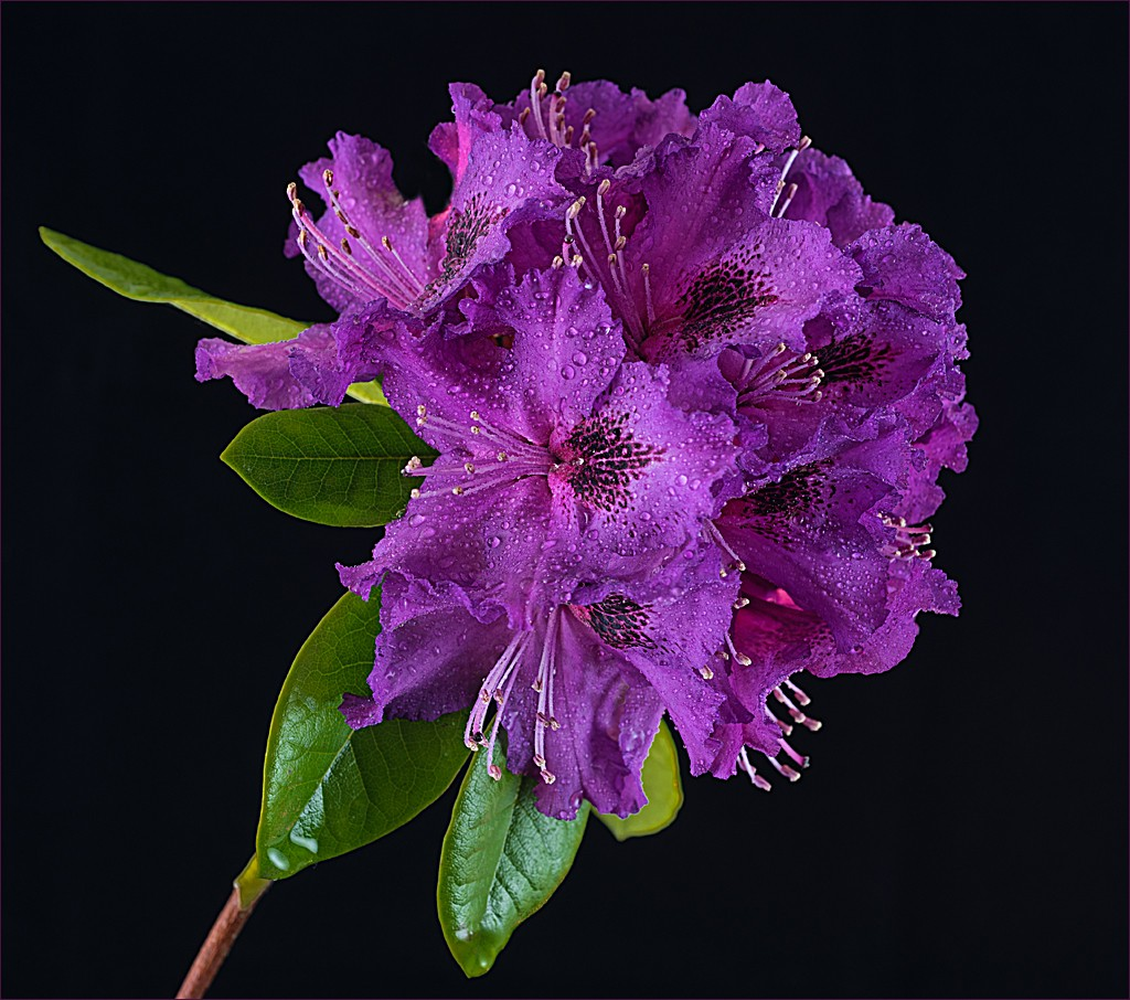 'Rhododendron' by Karen McClymonds