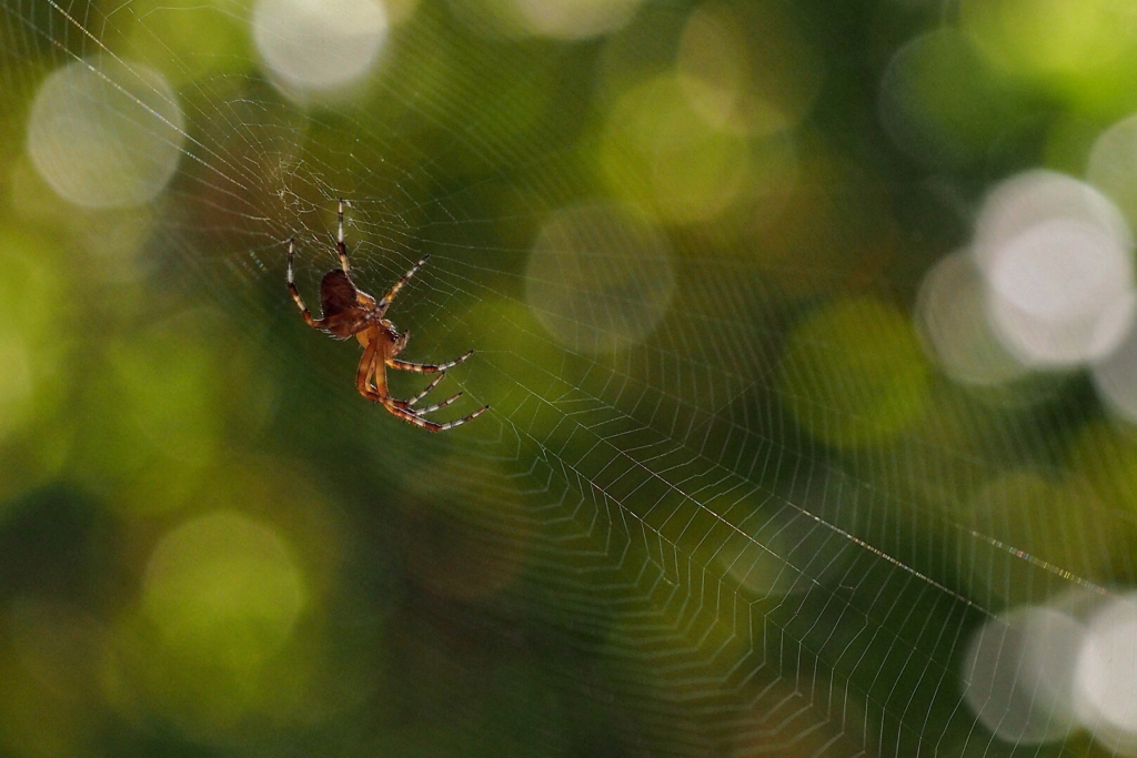 """Orb Weaver"" - Copyright Susan Sheets"