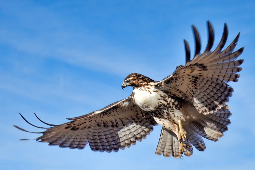 "2nd place - ""Red Tailed Hawk"" - copyright Victor Dallons"